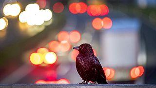 Eine Krähe schaut auf die Autobahn