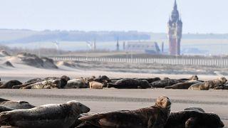 Des phoques près de Calais