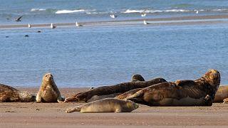 حيوانات الفقمة تستوطن مناطق في الساحل الشمالي الغربي لفرنسا بالقرب من مدينة كاليه