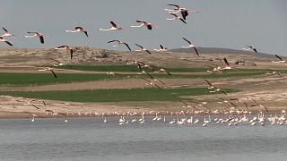 Pink flamingos flying over Lake Tuz