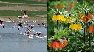 Tuz Gölü'ndeki flamingo kuşları ve Van'ın ünlü ters lale çiçekleri.