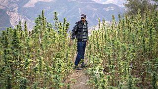 Maroc : l'usage médical du cannabis ravit les producteurs