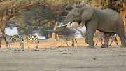 Zimbabwe sells rights to hunt endangered elephants