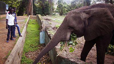 Les éléphants de Côte d'Ivoire en voie d'extinction