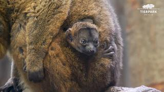 Collared lemur named Elodie and her newborn baby