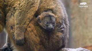 Rare collared lemur born at Berlin zoo
