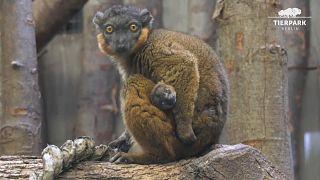 Naissance d'un lémurien au zoo de Berlin