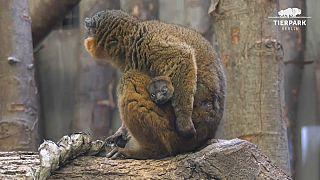 Captura de imagen del Lemur.