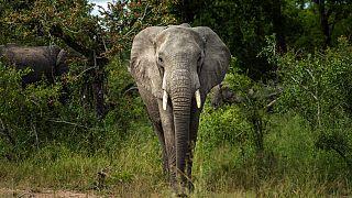 Parc kenyan d'Amboseli : victoire des éléphants, détresse des agriculteurs