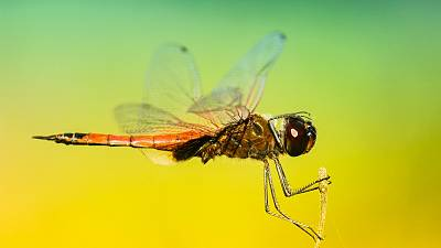 Dragonflies have become the muse of drone researchers in Australia.
