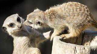 Szurikáták a kronbergi állatkertben, 2018, Németország (illusztráció)