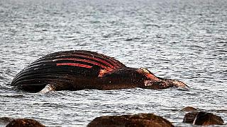 il cadavere della balena arenato da una settimana sull'isola di Öland