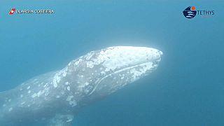 Путешествие серого кита в Средиземноморье
