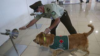 دربت الكلاب على رصد المصابين بكوفيد-19 في عدة دول منها تشيلي (الصورة)