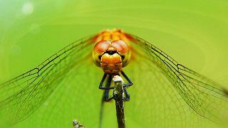 Ejderha sineği