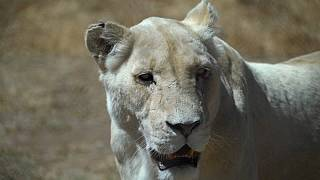 S.Africa to ban breeding and hunting lions in captivity