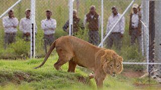 Afrique du Sud : l'élevage de lions en captivité interdit