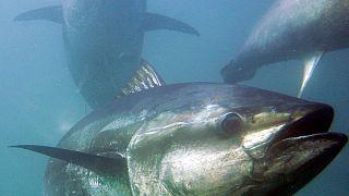 As populações europeias de atum-rabilho estão a crescer