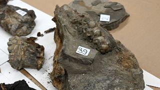 Hırvatistan-Bosna Hersek sınırında araba bagajında 15 milyon yıl öncesine ait hayvan fosilleri bulundu.
