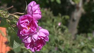 Une fleur de la Vallée des roses au Maroc