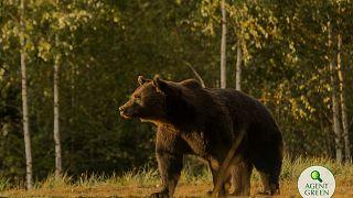 Das abgeschossene Tier war einer der größten Bären in Europa
