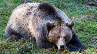 خرس قهوهای (عکس تزئینی است)