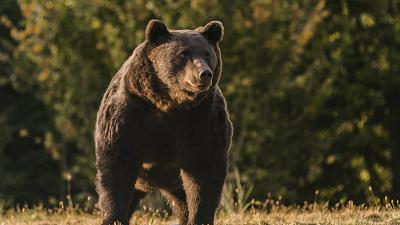 In this October 2019 handout photo provided by NGO Agent Green, Arthur, a 17-year-old bear, is seen in the Covasna county, Romania.