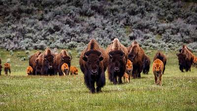 Bison are being culled at the Grand Canyon