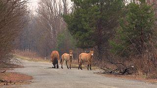 Przewalski's horses in Chernobyl.