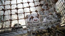Dinamarca debe incinerar los visones que había sacrificado por la COVID porque emergen de tierra