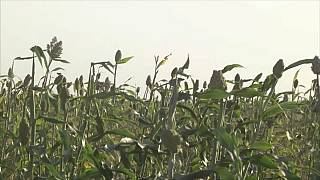 Swarms of granivorous birds threaten millet farms in Cameroon's far north region