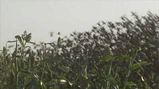 Перелетные птицы уничтожают урожай