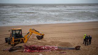 جثة حوت جرفته الأمواج على ساحل لاندز جنوب غرب فرنسا