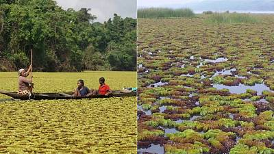 A race against time: The giant weeds taking over Lake Ossa in Cameroon