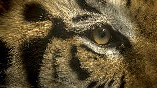 نمر بنغالي- صورة توضيحية