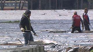 Saisonarbeiter auf dem Spargelfeld