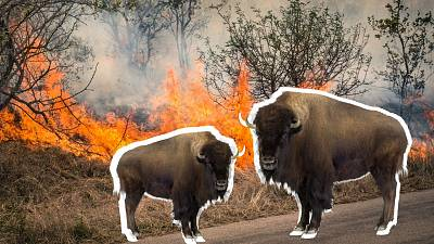 Are bison the 'natural firefighters' we need to tackle wildfires?