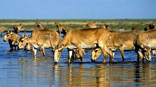 Sayga antilopu