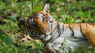 The traditional 'Big 5' included animals such as tigers