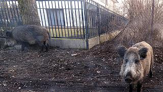 ILLUSTRATION & FILE photo: March 25, 2018, wild boar near houses in Lomianki county on Warsaw outskirts
