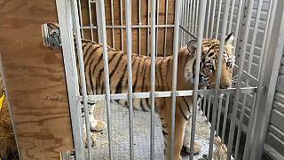 India, el tigre que tuvo en jaque a Houston durante una semana