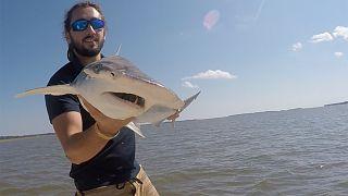 Araştırmacı Brian Keller bir çekiçbaşlı köpekbalığı tutuyor