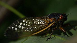 """Coucou, c'est moi ! Une """"cicada"""" adulte aperçue sur un arbre dans la capitale fédérale des Etats-Unis, Washington, le 7 mai 2021"""