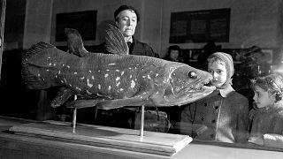 Bojtosúszós hal a párizsi természettörténeti múzeumban