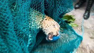 Wild leopard capured