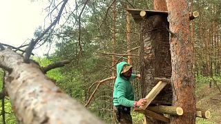 Украинский бортник устанавливает улей на дереве, Киевская область, май 2021 г.