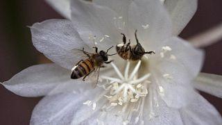 Les abeilles africaines en péril ?