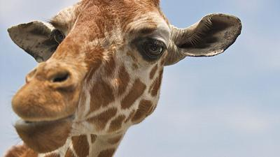 The giraffe population has declined 40 per cent in 30 years, and there are now approximately 68,000 left in the wild.