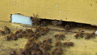União Europeia tem estratégia para salvar as abelhas