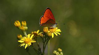 Archives : papillon dans la zone protégée de Milovice (République tchèque), le 22/07/2020